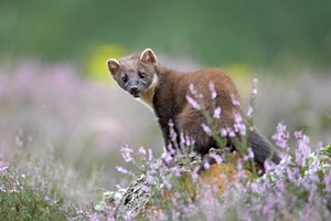 PineMarten72365.jpg
